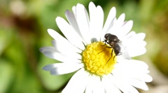 Insect gathering pollen from a daisy flower Stock Footage