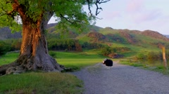Two curious sheeps on pasture at sunset in the Lake District, England Stock Footage