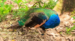 Colorful Peacock Cleans Feathers under Tree in Park Stock Footage
