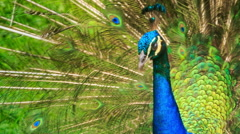 Closeup Peacock Shows Large Colourful Tail Stock Footage