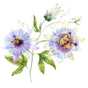 Watercolor passion flower Stock Illustration