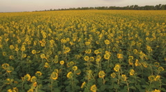 Aerial view of the sunflower field at sunset Stock Footage