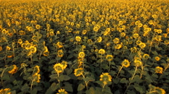 Aerial view of the sunflower field at sunset - stock footage