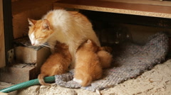 Red-haired mother cat feeding her kittens - stock footage
