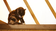 Cat washes sitting on a window sill Stock Footage