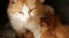 Red-haired mother cat feeding her kittens Arkistovideo