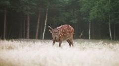 Dappled deer grazing Stock Footage