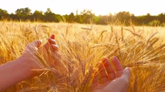 Caressing wheat with hands - stock footage
