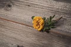 Dry yellow rose on old wooden background Stock Photos