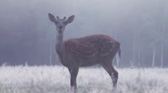 A deer in a thick fog at dawn Stock Footage