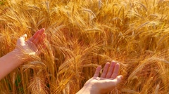 Caressing wheat with hands, top view - stock footage
