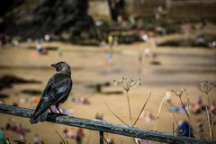 Black crow perched on a metal rail above the beach in Newquay, - stock photo