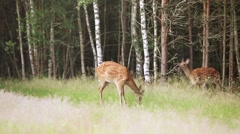 A herd of spotted deer Stock Footage