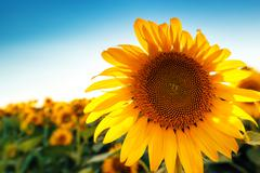 Beautiful sunflower head blooming in cultivated crop field - stock photo