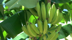 Bunch of Bananas on Banana Tree Stock Footage