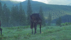Horses on the meadow in the morning after a rain in the mountains - stock footage