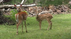 Mother White-tailed Deer (Odocoileus virginianus) With Fawns - stock footage