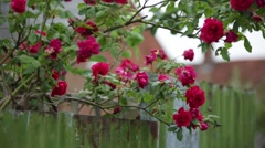 English rose bush in bloom Stock Footage