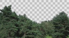 Real Coniferous Trees Isolated 2 Stock Footage