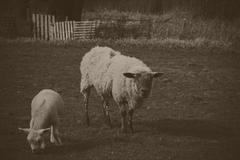 Lambs in a field in the Chilterns Stock Photos