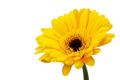 Yellow Gerbera daisy against a white bckground Stock Photos