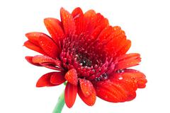 Red Gerbera daisy on a white background - stock photo