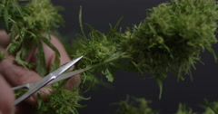 Hands trim marijuana plant buds as focus racks in slow motion - stock footage
