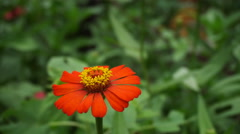 Orange zinnia flower in the garden Stock Footage