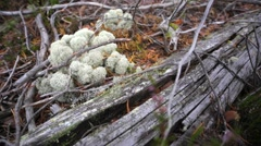 A closeup of moss and old dry log. Stock Footage