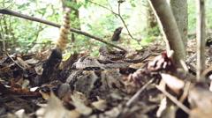 Timber Rattlesnake venomous - stock footage