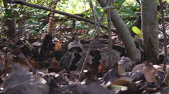 Timber Rattlesnake Hiding Stock Footage