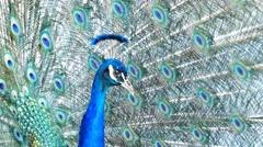 Beautiful peacock showing its fan Stock Footage