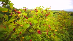 Briar barriers waving in the wind. - stock footage