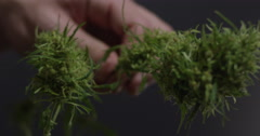 Huge marijuana bud trimmed off of plant and compared to smaller bud Stock Footage