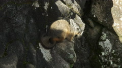 High angle shot of a viscacha at machu picchu Stock Footage