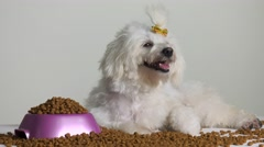 Little Poodle Dog Pet With Bowl Of Food Stock Footage