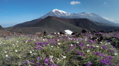 Flowers growing on volcanic slag on background of volcanoes Stock Footage