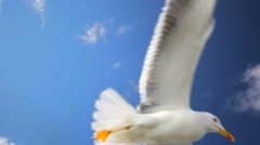 Gull is flying close to the camera, waiting for bread that tourists trow them. Stock Footage