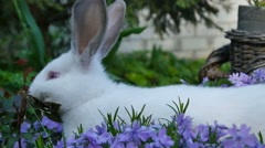 White Rabbit is in purple flowers Stock Footage