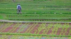 Balinese Laborer Working in a Rice Field. 4k UltraHD video Stock Footage