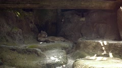 Mountain Lion Resting in the Shade at the Zoo. UltraHD video Arkistovideo