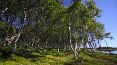Unusual birches groving on the seashore. Stock Footage