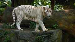 White Bengal Tiger Pacing on a Rock at the Zoo. UltraHD video Stock Footage