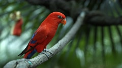 Red Lorikeet in the Aviary of a Popular Zoo Stock Footage