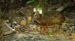 Pair of Adorable Chevrotains Foraging at the Zoo. UltraHD video Stock Footage