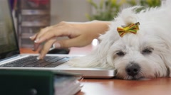 Business Woman Typing PC In Office With Dog Sleeping Stock Footage