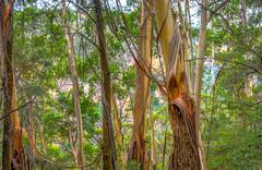 Eucalyptus tree trunks Stock Photos