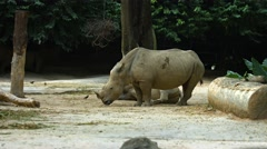 Two White Rhinoceroses at the Zoo. Footage UHD Stock Footage