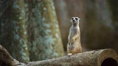 Solitary Meerkat Standing Guard. 4k UltraHD video Stock Footage
