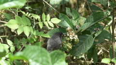 Male medium ground finch eating berries in the galalagos islands Stock Footage